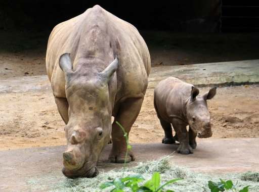 photo image Baby rhino gallops into public view at Singapore Zoo