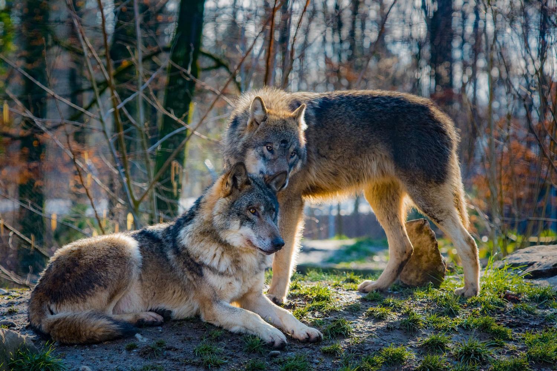 Biologist helps determine wolf taxonomy