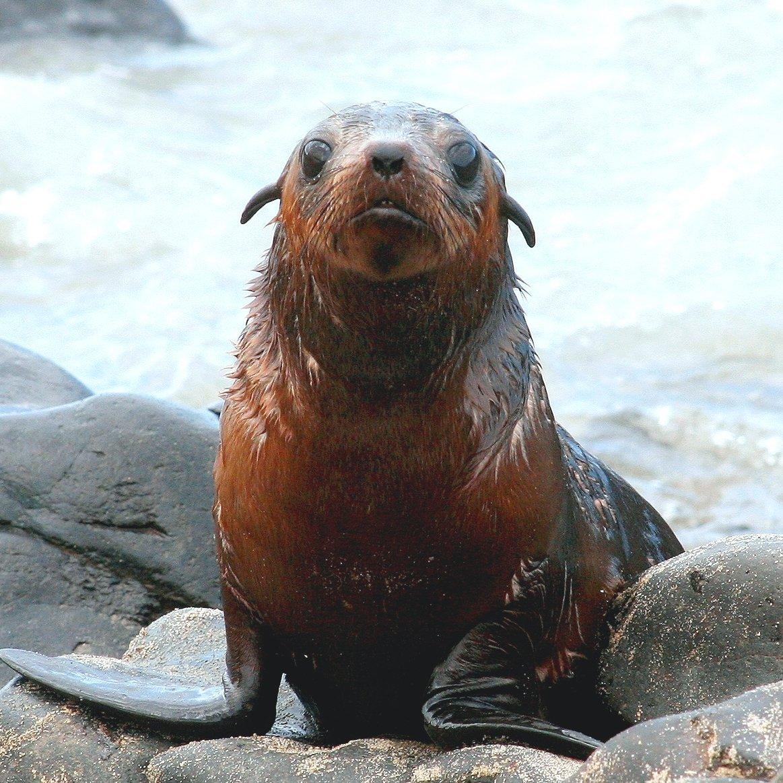australian fur seal pup population is shrinking