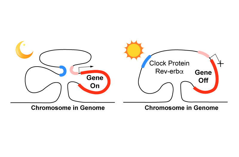 clock protein controls daily cycle of gene expression by