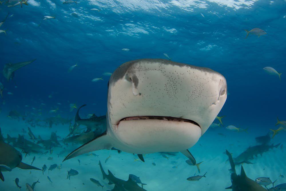 How sharks and other animals evolved electroreception to ...