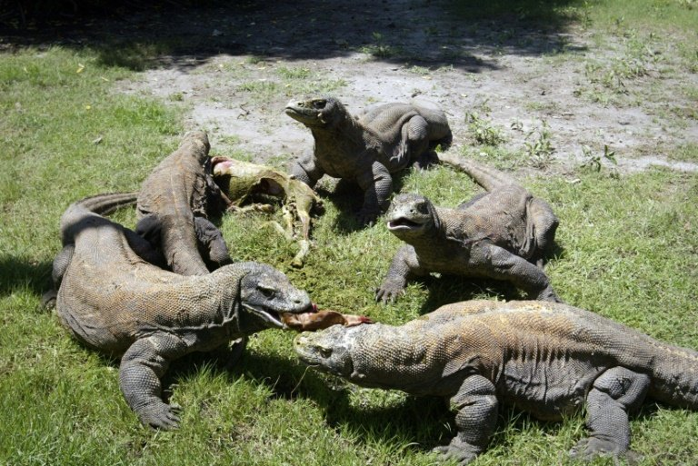 Keen To See A Komodo Dragon 500 Please Says Indonesian Governor