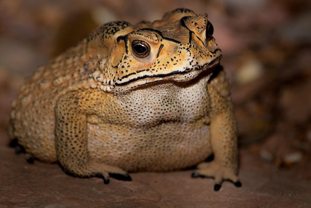 Toxic Toad Invasion Puts Madagascar's Predators At Risk