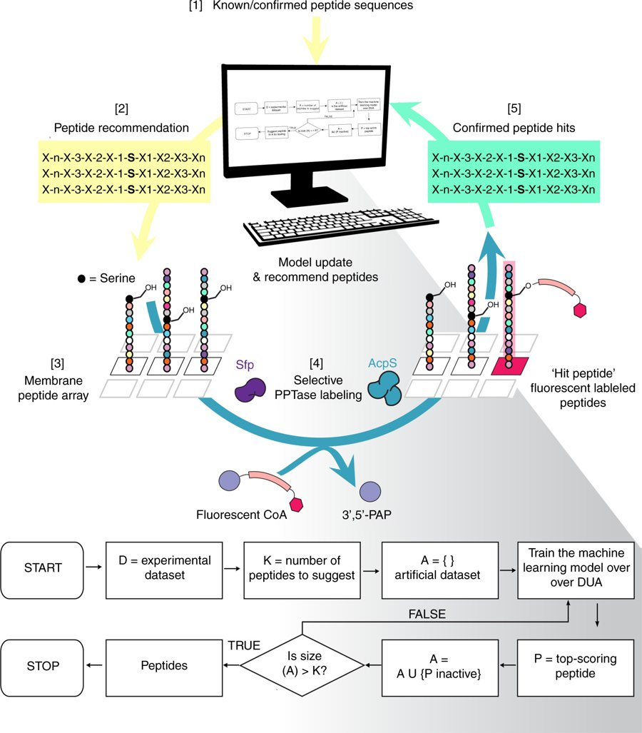 Using machine learning to design peptides