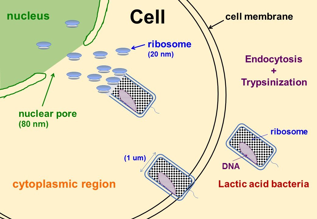 2 ribosomesfou ribosomes found to induce somatic cell pluripotency