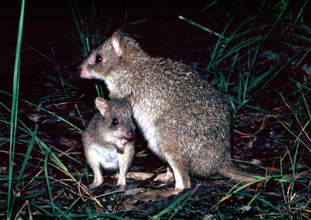 photo image Yes, kangaroos are endangered – but not the species you think