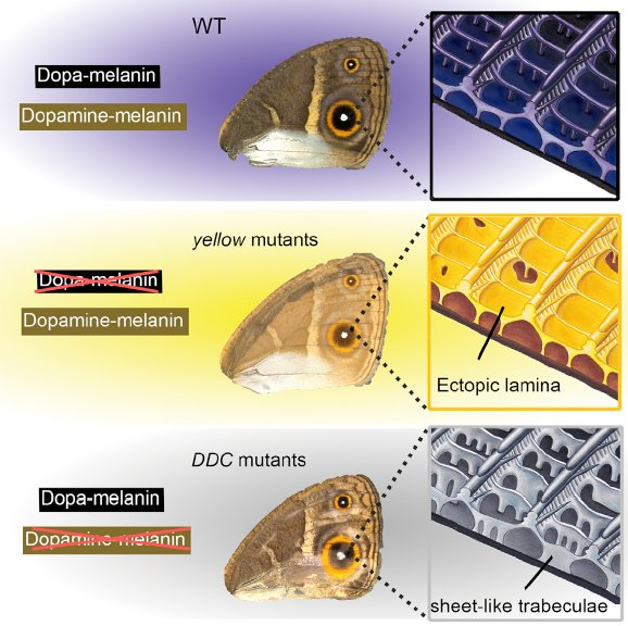 Scientists use CRISPR to tweak butterfly wing color, change wing scale surface structure