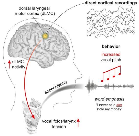Music of speech' linked to brain area unique to humans