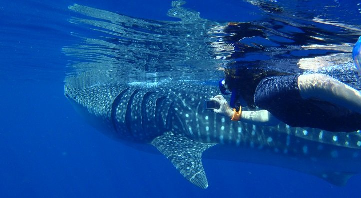 photo image Investigations of prey patterns fail to explain why whale sharks aggregate off the coast of Saudi Arabia