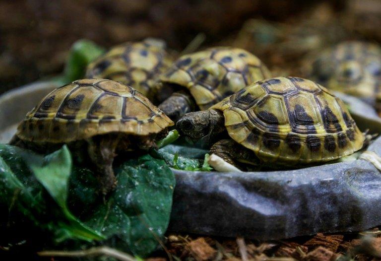 Dozens Of Rare Hermanns Tortoises Stolen In Corsica