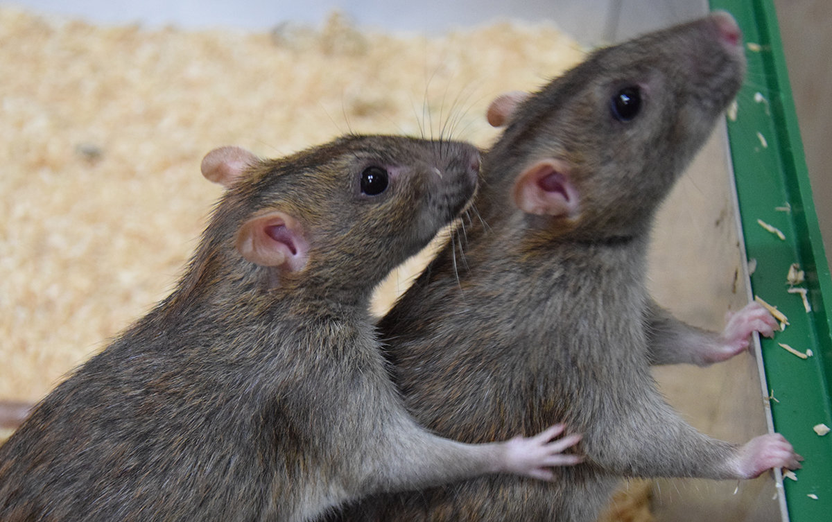 rats help each other out just as humans do. Black Bedroom Furniture Sets. Home Design Ideas