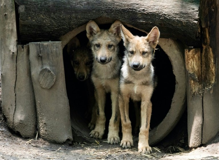 photo image Eight wolf cubs the star attraction at Mexico City zoo
