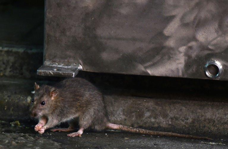 Operation Tsukiji Tokyo Battles Rats As Iconic Market Shuts