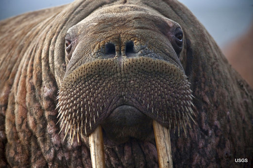photo of As sea ice melts, some say walruses need better protection image