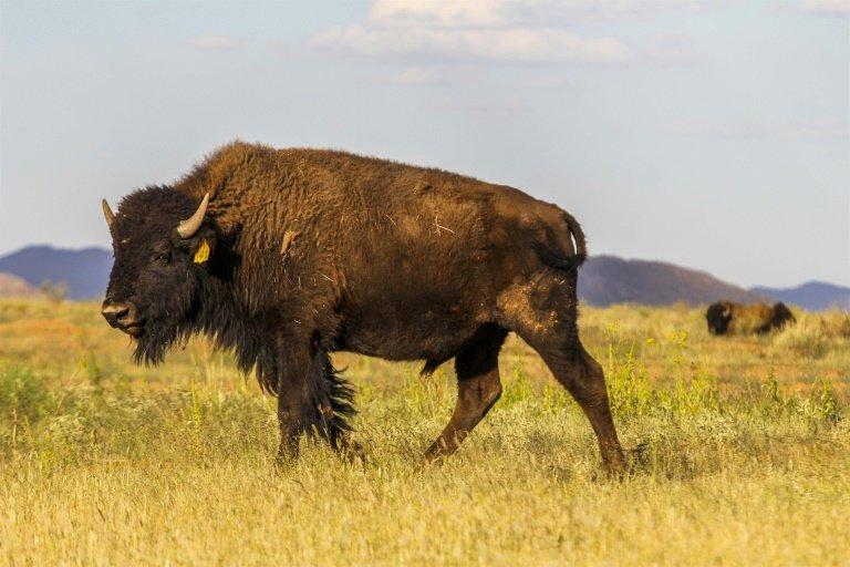 bison - photo #5