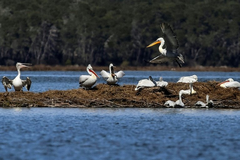 photo image Albania's pelicans return to their lagoon 'kingdom'