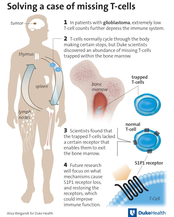 Team Finds Missing Immune Cells That Could Fight Lethal Brain Tumors