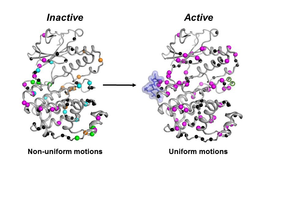 The inactive form (left) of the MAPK p38 enzyme moves in an uncoordinated fashion. Once the necessary molecules (blue blob and P symbols) bind, the enzyme becomes active (right) by moving in a coordinated fashion to do its job inside a cell. Credit: Senthil Ganesan, University of Arizona Department of Chemistry and Biochemistry.