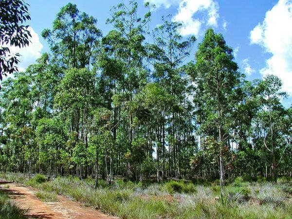 Eucalyptus 2018: Plantation managers and researchers are working to deal with climate change