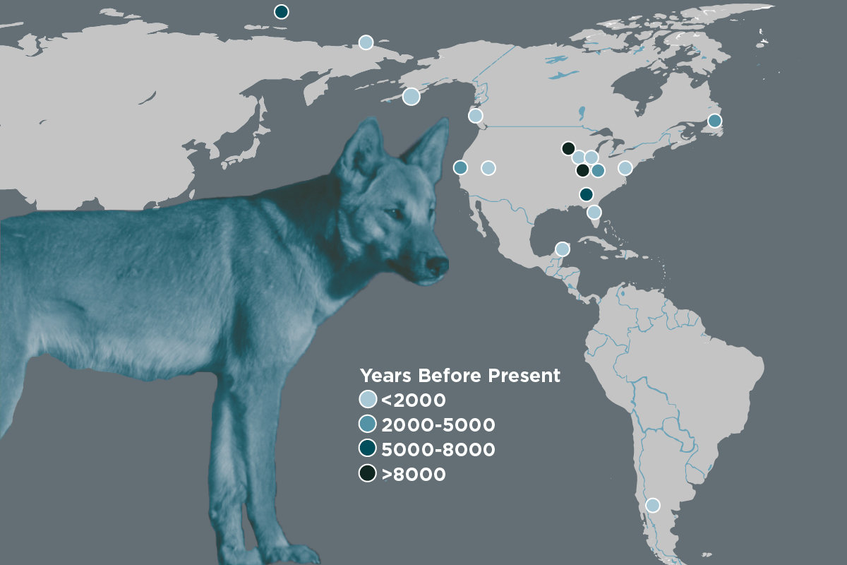 first dogs in the americas arrived from siberia disappeared after