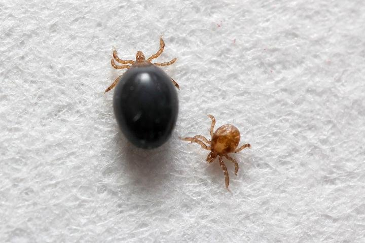 first ever transgenic ticks to help fight tick borne diseases such