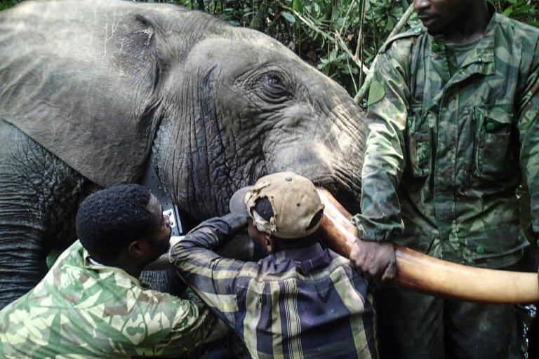 gabon fights elephant poachers with hi tech tracker collars