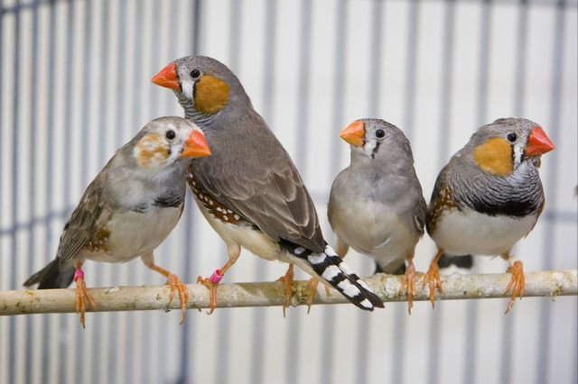 Genes in songbirds hold clues about human speech disorders, biologists report