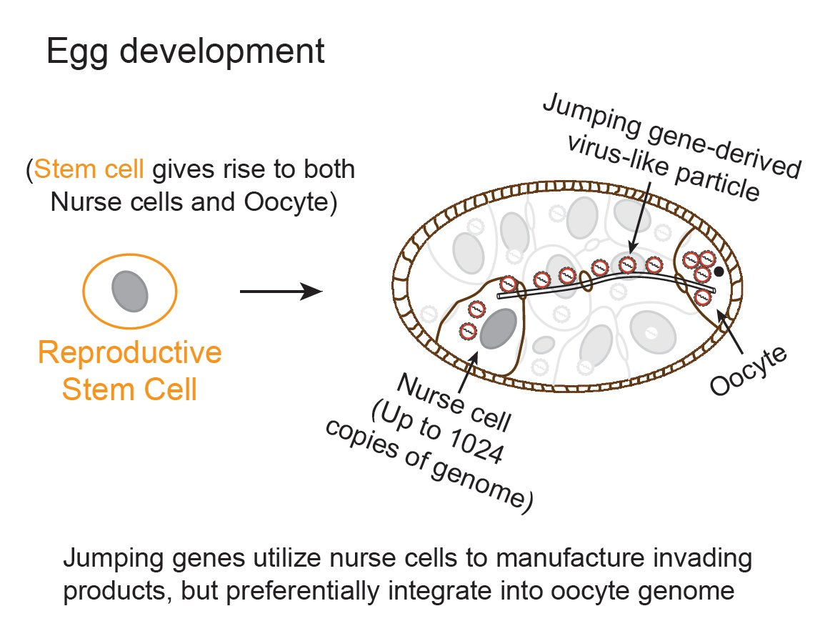 How do jumping genes cause disease, drive evolution?