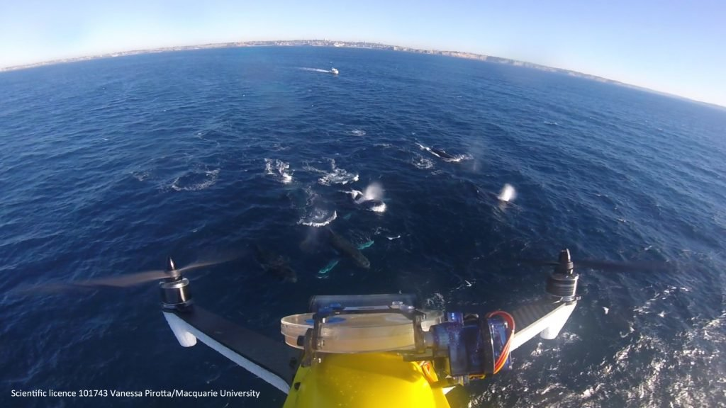photo image How scientists are monitoring whale health by using drones to collect their blow