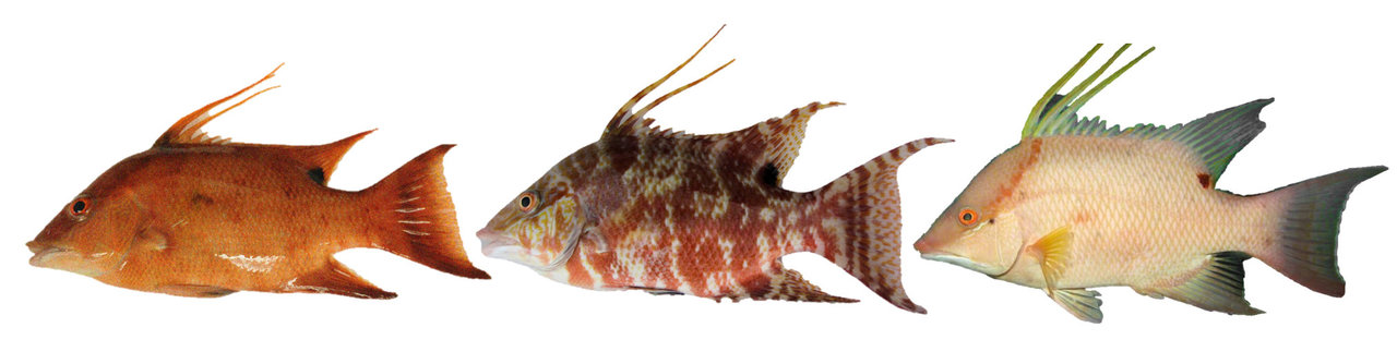 photo image How the color-changing hogfish 'sees' with its skin