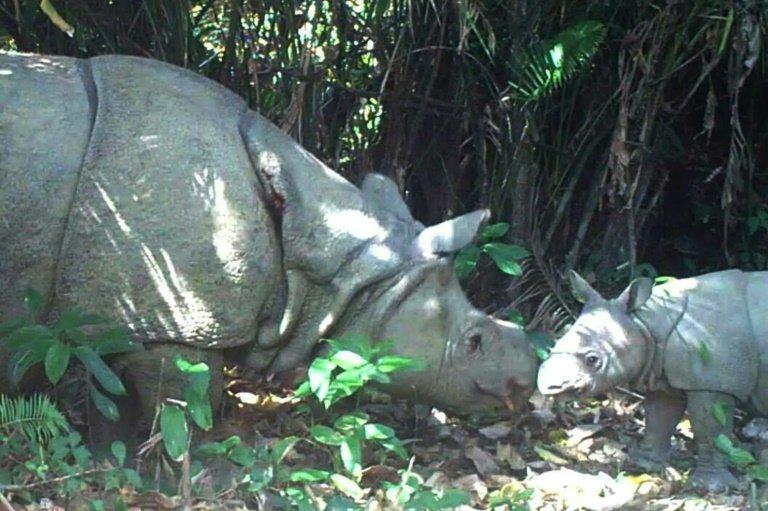 critically endangered javan rhino dies in indonesia