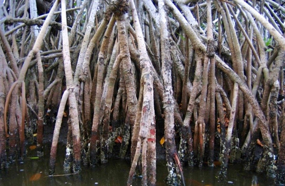 importance of mangrove trees
