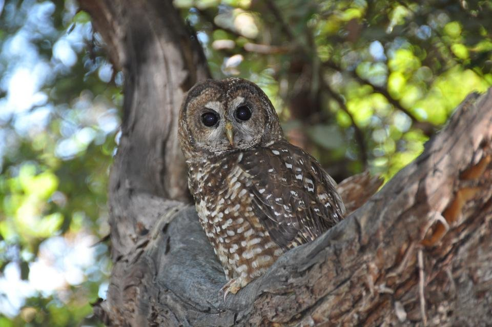photo image Marijuana farms expose spotted owls to rat poison in Northwest California