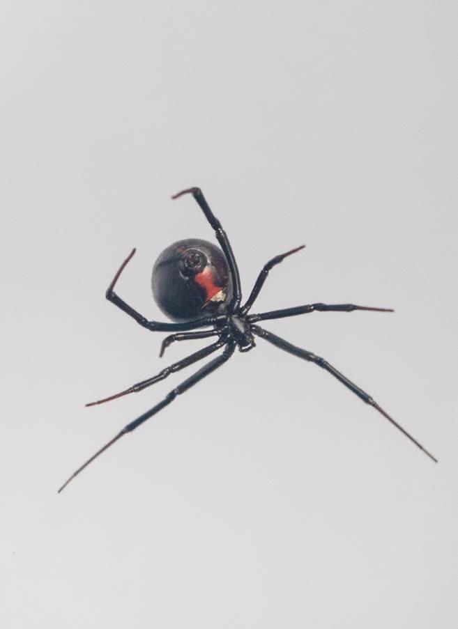 Laba-laba Black Widow