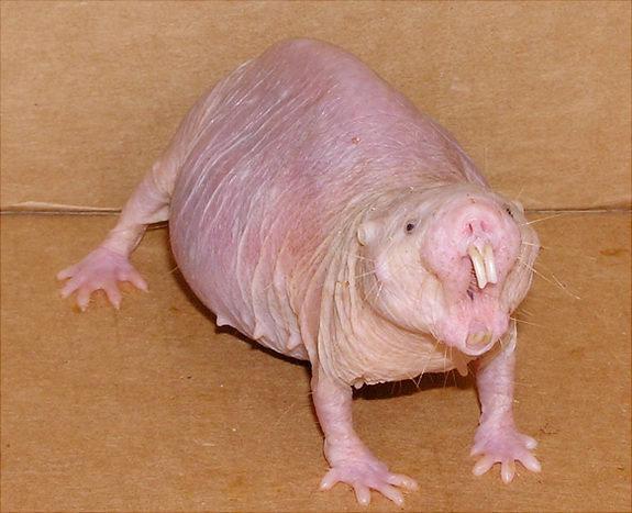 Naked mole rat found to defy Gompertz's mortality law