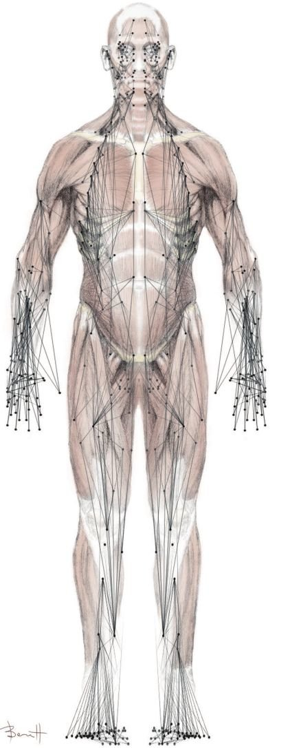 Network model of the musculoskeletal system predicts compensatory ...