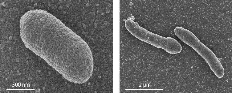 New life form answers question about evolution of cells