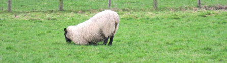 photo image New smart sensor to help farmers spot lameness in sheep