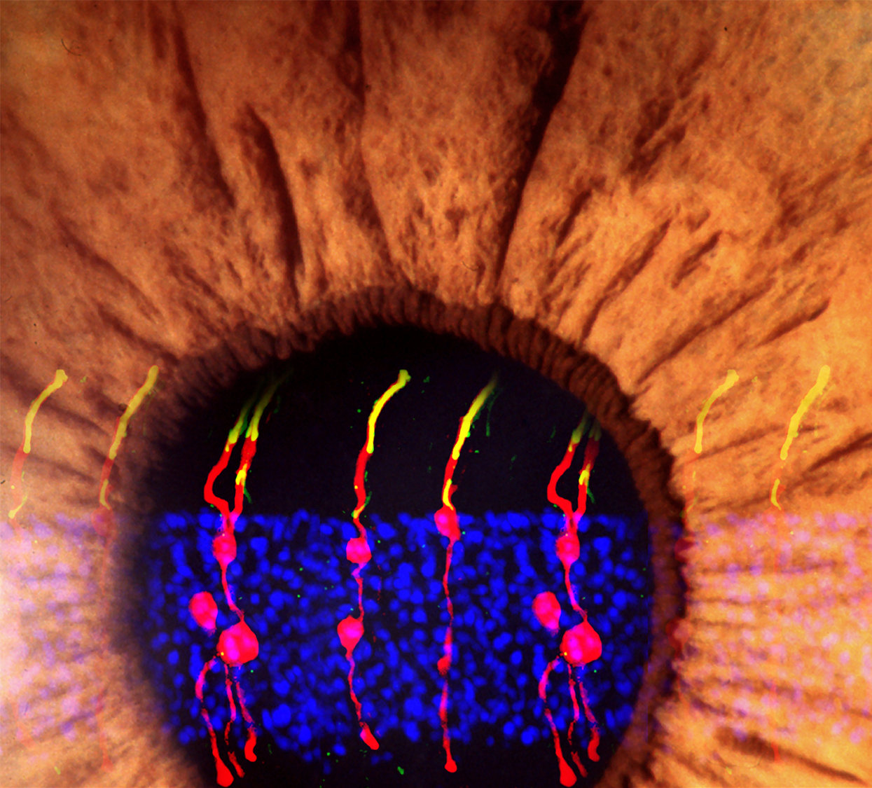 Researchers Reverse Congenital Blindness In Mice