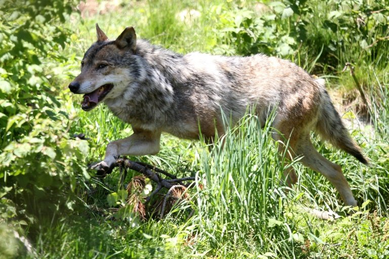 photo image Wolf found in northern Belgium, first time in over 100 years