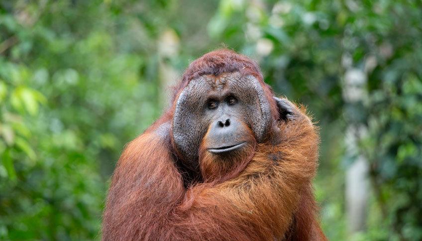 Los orangutanes doblan espontáneamente los cables rectos para hacer comida