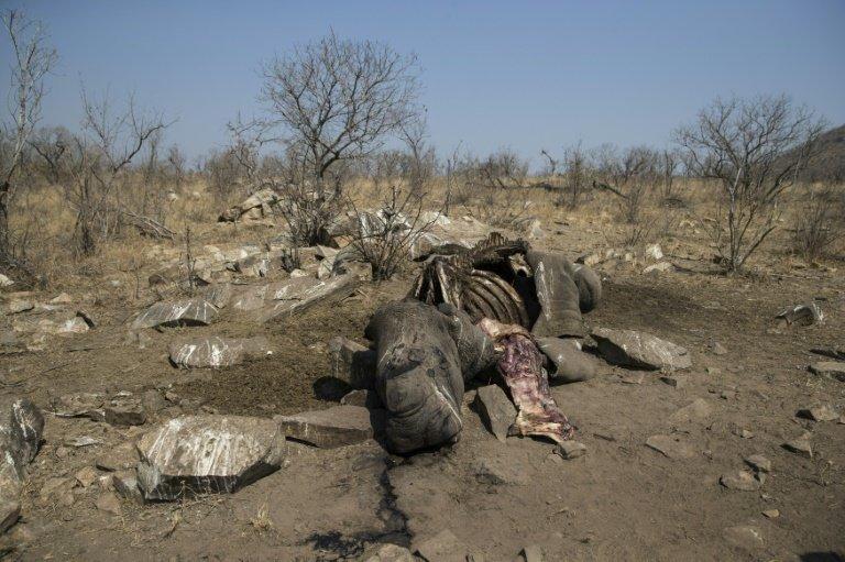 Slaughtered rhino embodies S.Africa's poaching crisis
