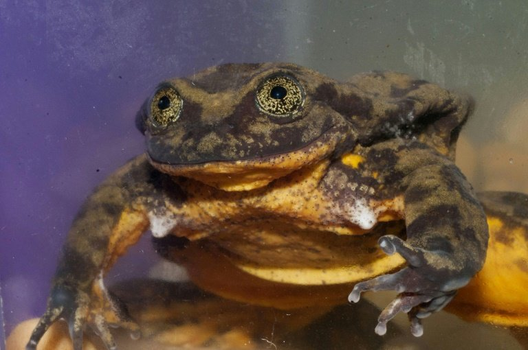 bolivian water frog in lovelorn race against clock