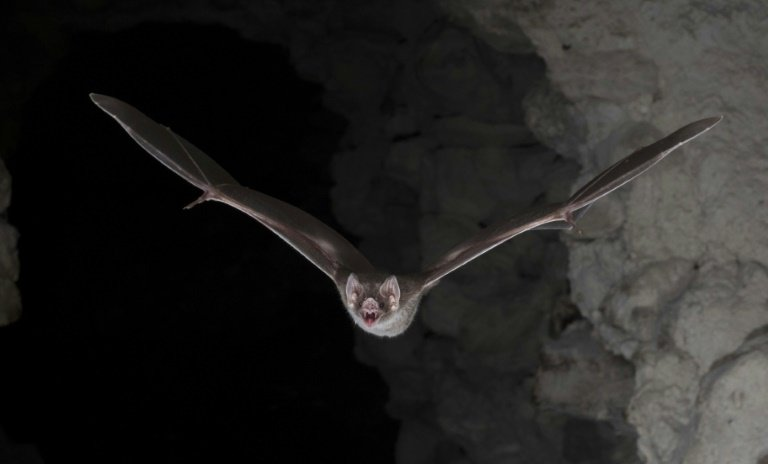 Vampire bat's blood-only diet 'a big evolutionary win'