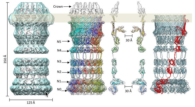 photo image Secretin protein with a crown