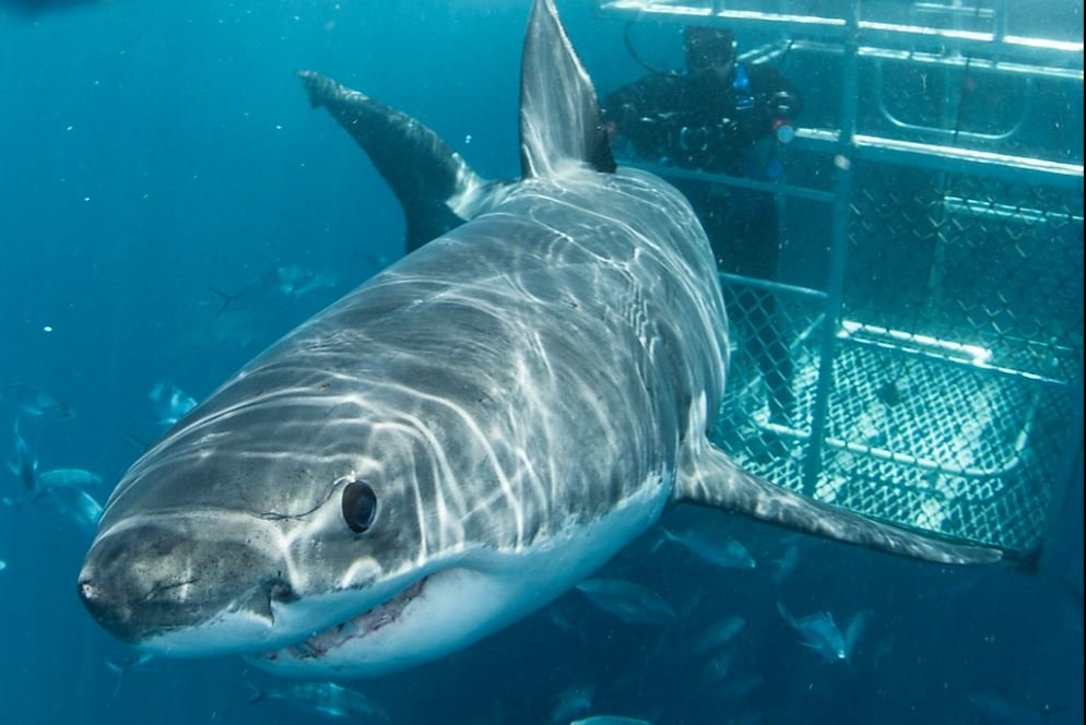 Great White Shark Conservation | Shark Tourism A Hook For Conservation