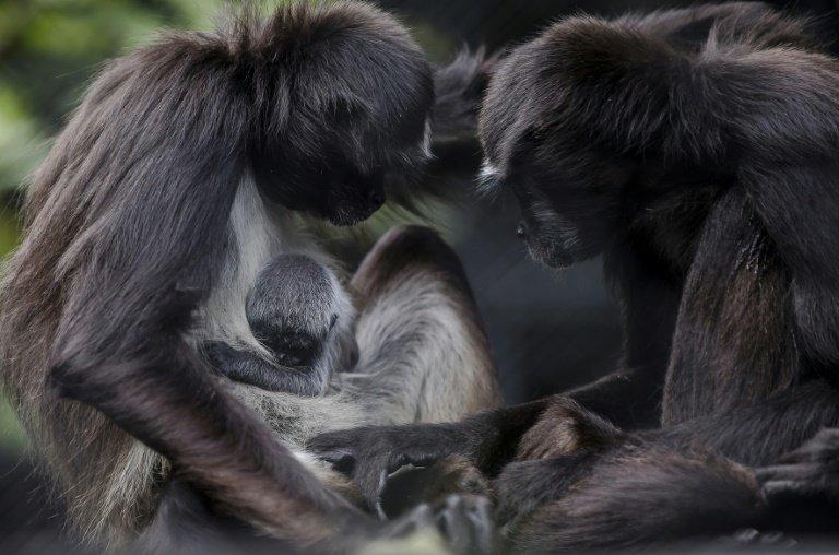 photo image Colombian zoo celebrates birth of endangered spider monkey