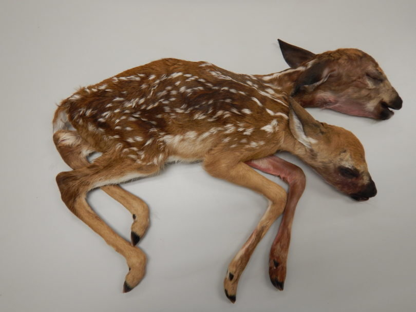 Stillborn Fawns First Known Conjoined Deer To Be Fully Delivered