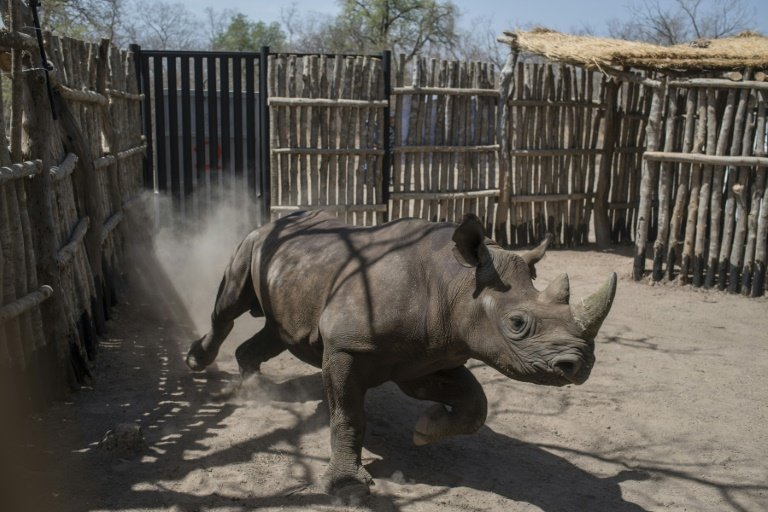 two rhinos die in chad after being relocated from s africa