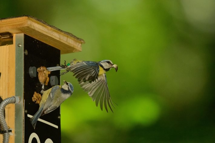 photo image The loss of a parent is the most common cause of brood failure in blue tits